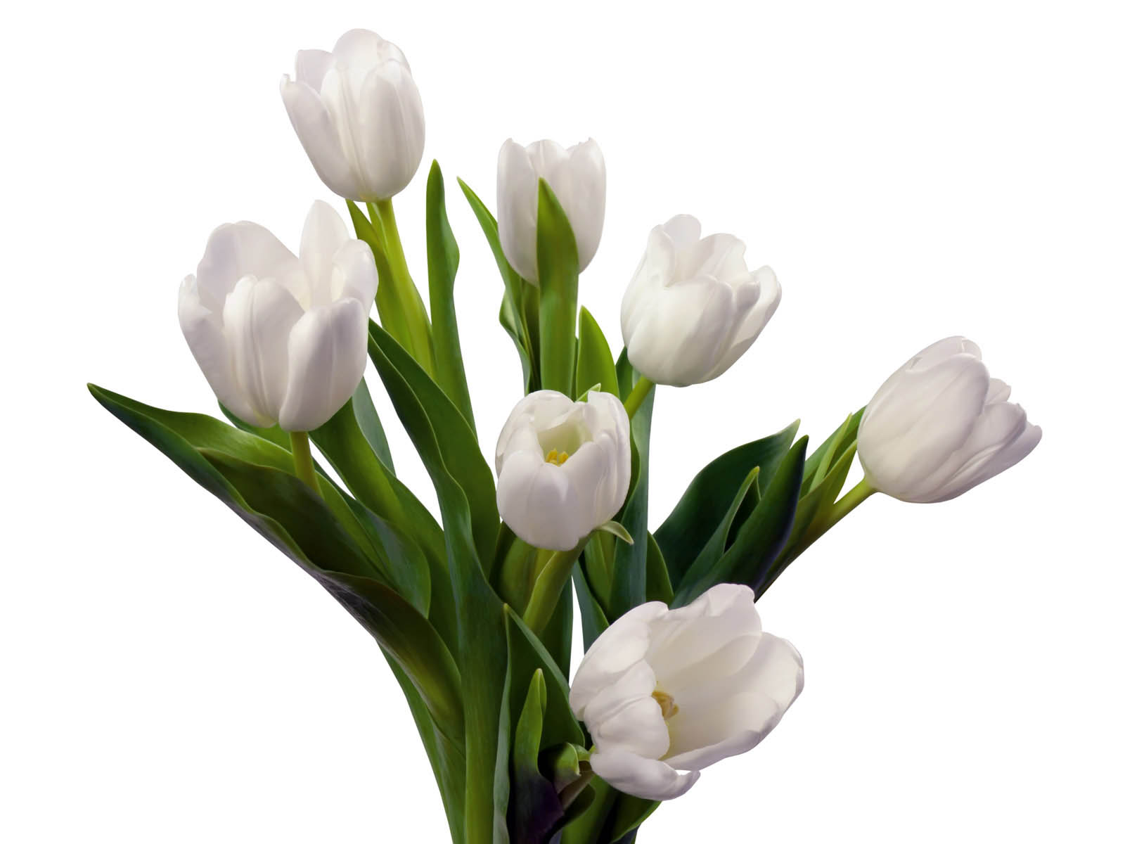 HD Wallpapers: White Tulip Flowers