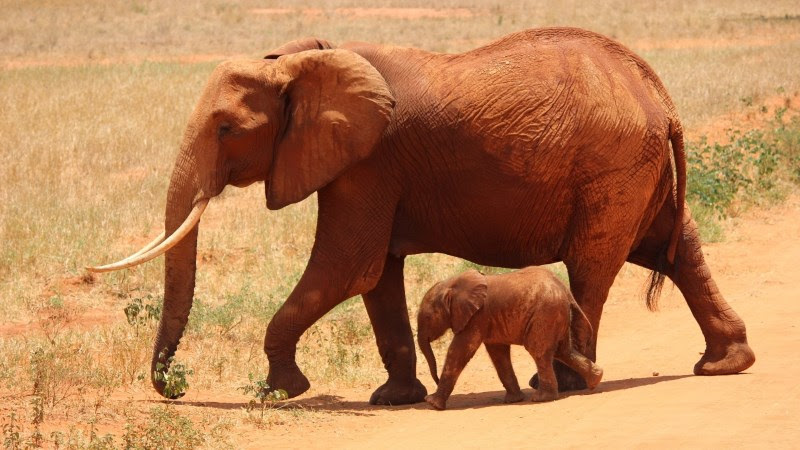 Wallpaper: Mom elephant with cub in savannah Tsavo Kenya