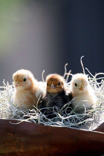 Baby chicks and Spring inspiration decor and easter tablescapes to inspire