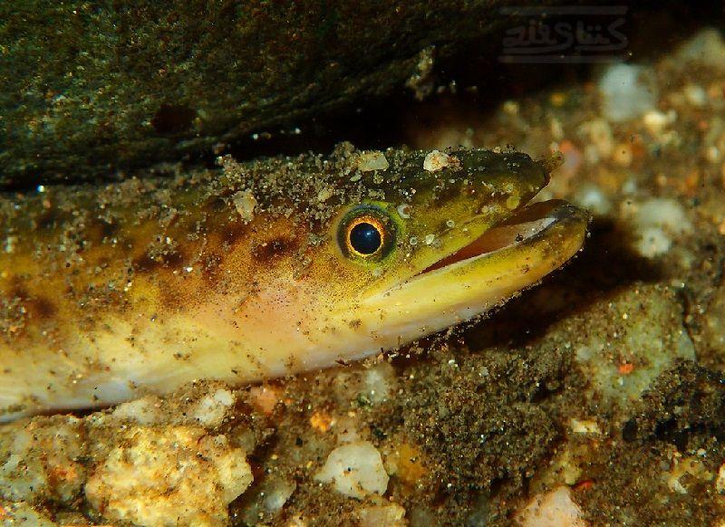 Gambar Belut ( Anguilla sp ) bernafas dengan insang dan termasuk jenis ikan bertulang sejati