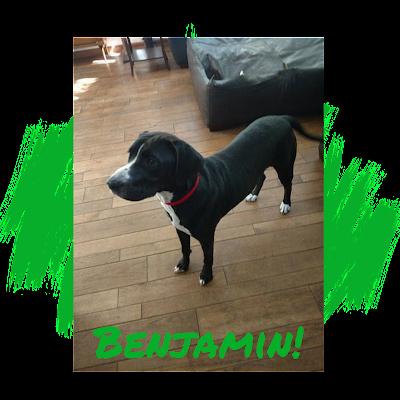 Black Labrador Retriever, Great Dane Adoption