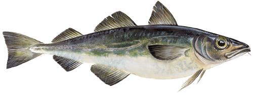 Oro for torsken trots minskat fiske