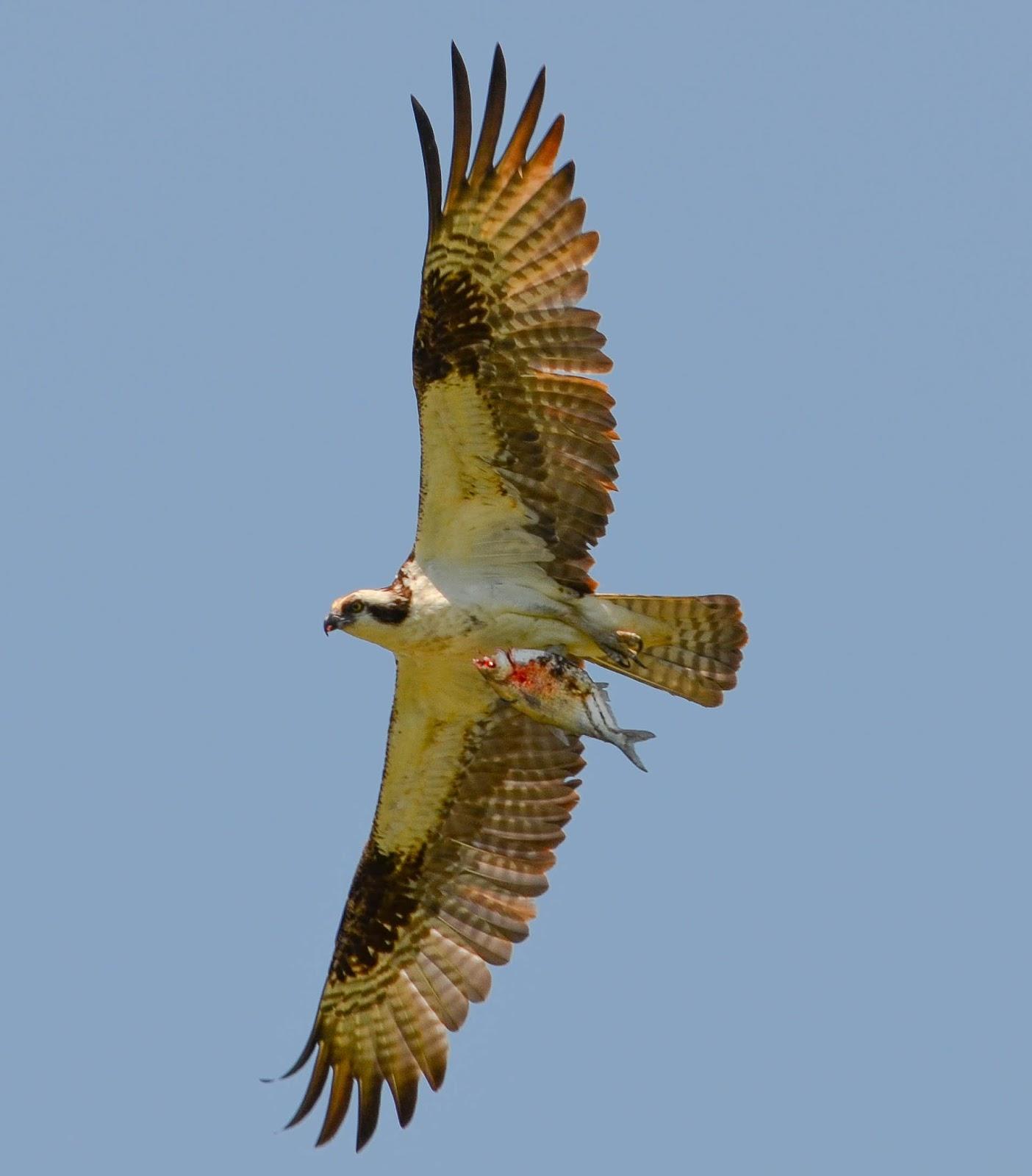 Carol mattingly photography osprey catch for Osprey catching fish