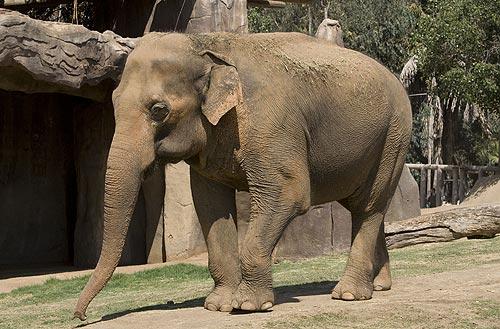 Asian Elephant | Animal Wildlife