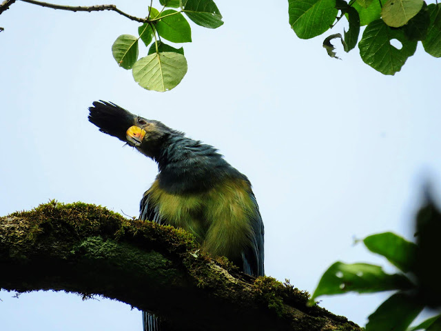 Blue turaco spotted at Bigodi Wetlands in Western Uganda