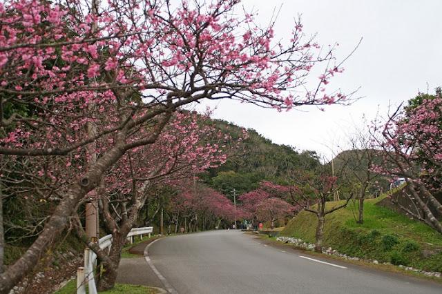 八重岳の桜並木の写真