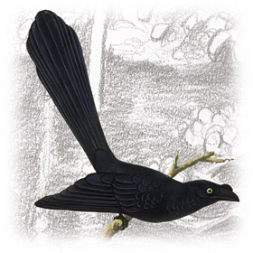 Anu Coroca (Crotophaga major)