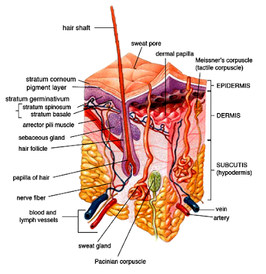 Human skin structure and function - Hypodermis layer