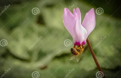 Κυκλάμινο: Μελισσοτροφικό φυτό που συμβολίζει τη γονιμότητα