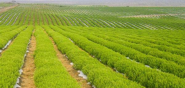 tanaman stevia pemanis