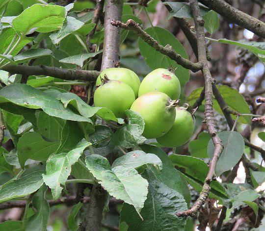 Owoce dzikiej jabłoni.