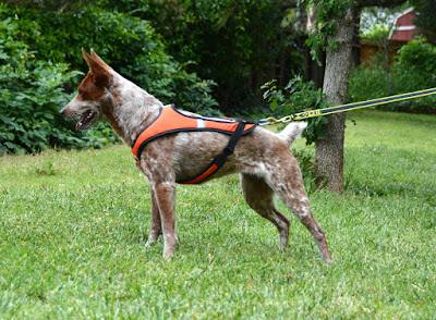 pulling harness for roading dog exercise