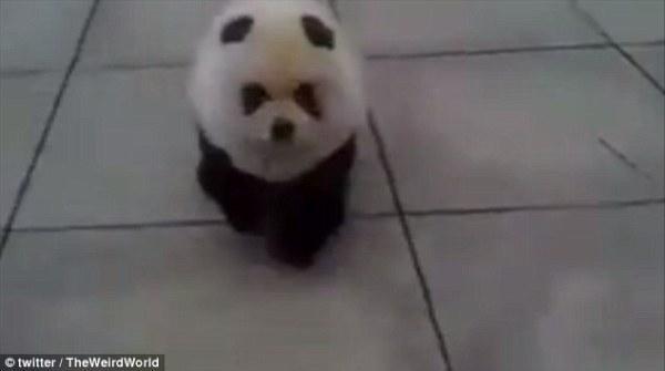Ngộ nghĩnh trào lưu chó cosplay gấu trúc tại Trung Quốc