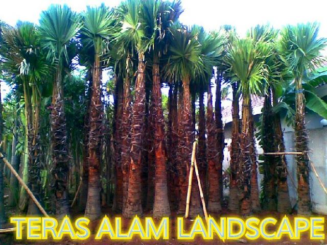 jual pohon palm bismarkia