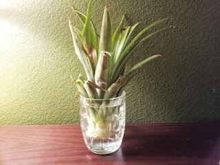 ананас верхушка стакан вода вырастить выращивание