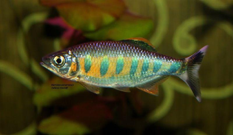 ikan puntius tetrazona