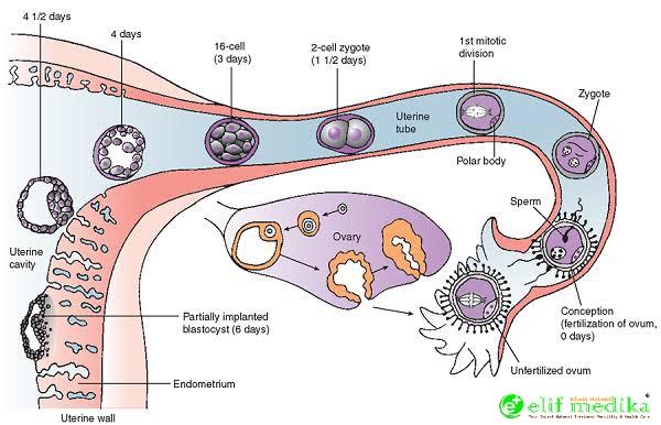 Embriologi sempurna sampai terjadinya implantasi hasil pertemuan sel sperma dan sel telur normal