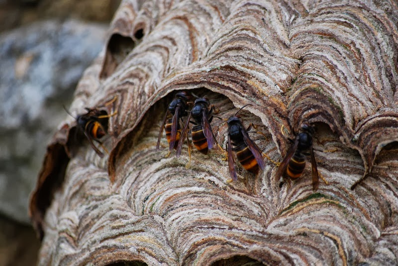 French Wildlife And Beekeeping Asian Hornet Nest In A