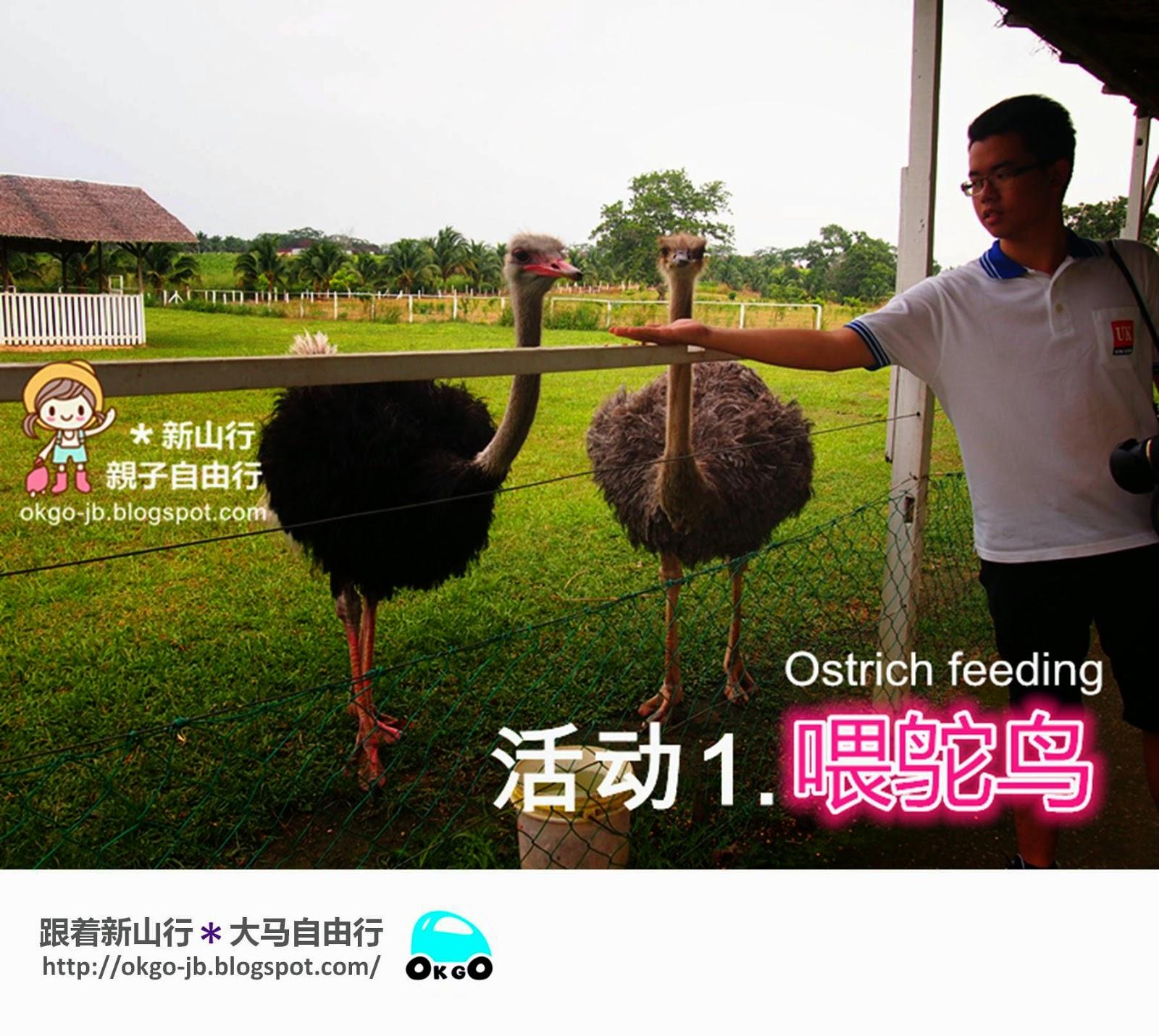 Kluang UK Farm ostrich feeding
