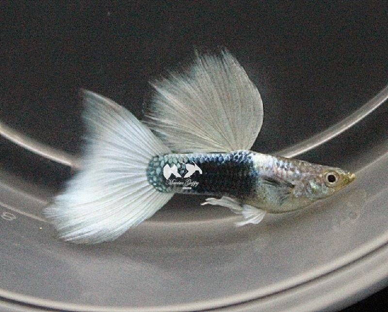 Gambar Jenis Ikan Guppy Import - Ikan Guppy Import HB White / HBW