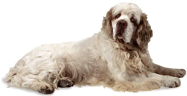 The dog in world Clumber Spaniel dogs