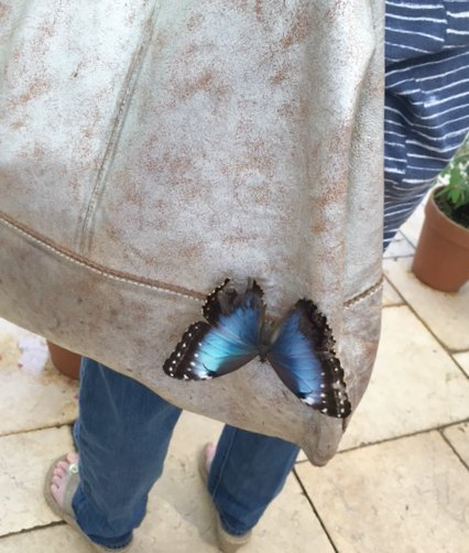 Blue morpho butterfly perched on silver leather handbag