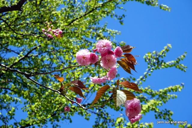 {Erin Out and About} Sakura in Kariya Park