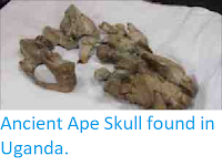 http://sciencythoughts.blogspot.co.uk/2011/08/ancient-ape-skull-found-in-uganda.html