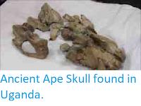 http://sciencythoughts.blogspot.co.uk/2011/08/ancient-ape-skull-found-in-uganda.html