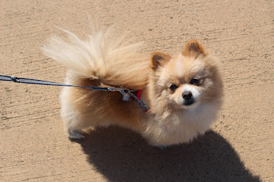 Comical And Sweet:  The Pomeranian