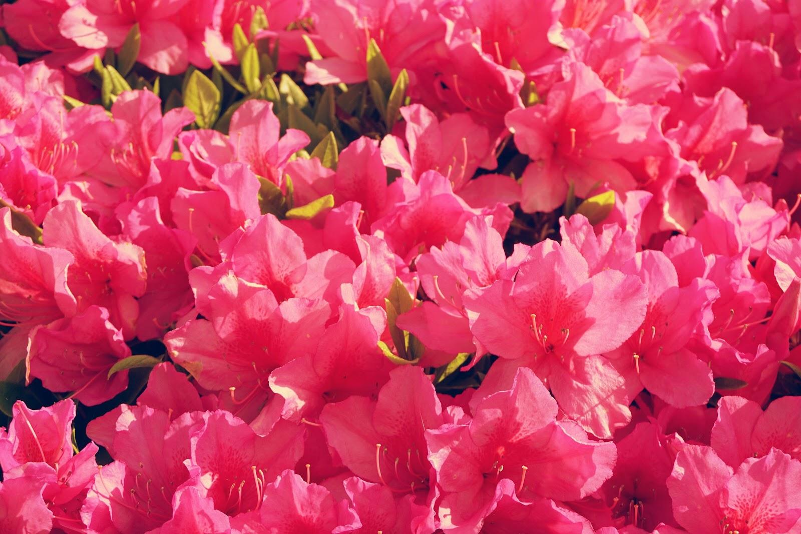 躑躅の咲き乱れ