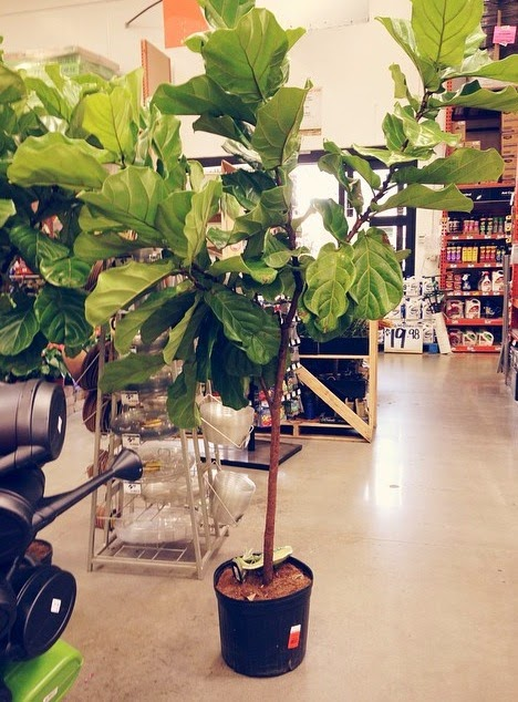 Fiddle Leaf Figs Are Not Only Hard To Come By They Also Relatively Expensive For Something You Could Likely Kill Since My Track Record With Succulents