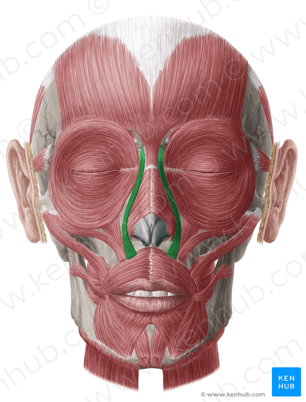 Levator Labii Superioris Muscle Anatomy Function & Function Body  - levator labii superioris