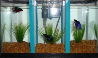 Cara Budidaya Ikan Cupang Menggunakan Aquarium
