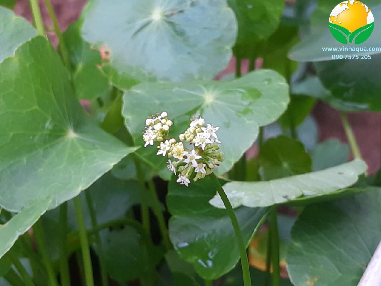 Hoa của cây thủy sinh Rau Má Dù cao