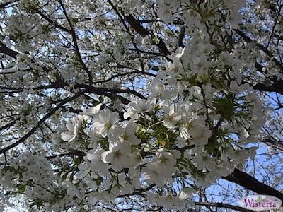 白い桜 ~ウィステリア~