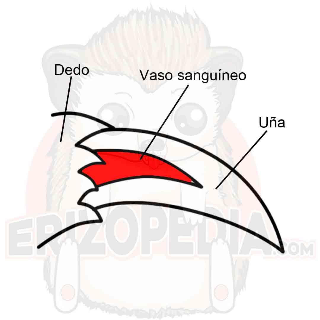 Dedo, uña y vaso sanguíneo de un erizo de tierra