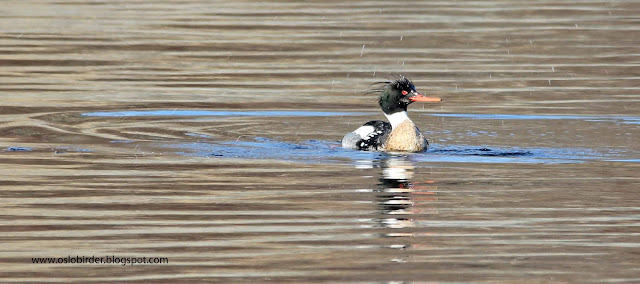 red breasted%2Bmerganser%2BIMG 9502%2Bcopy