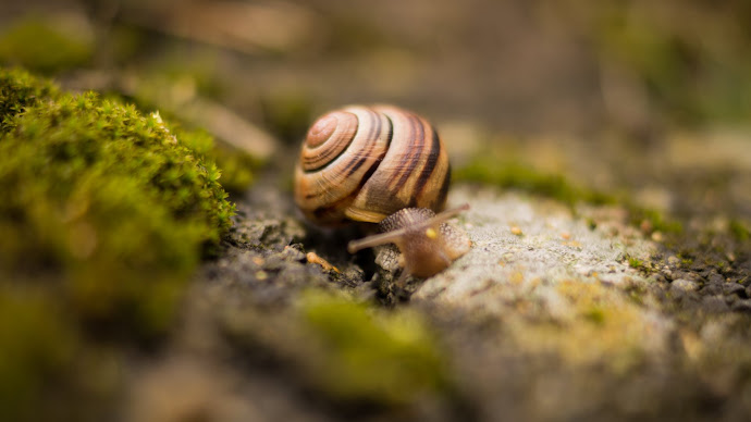 Wallpaper: Snail with House on his back