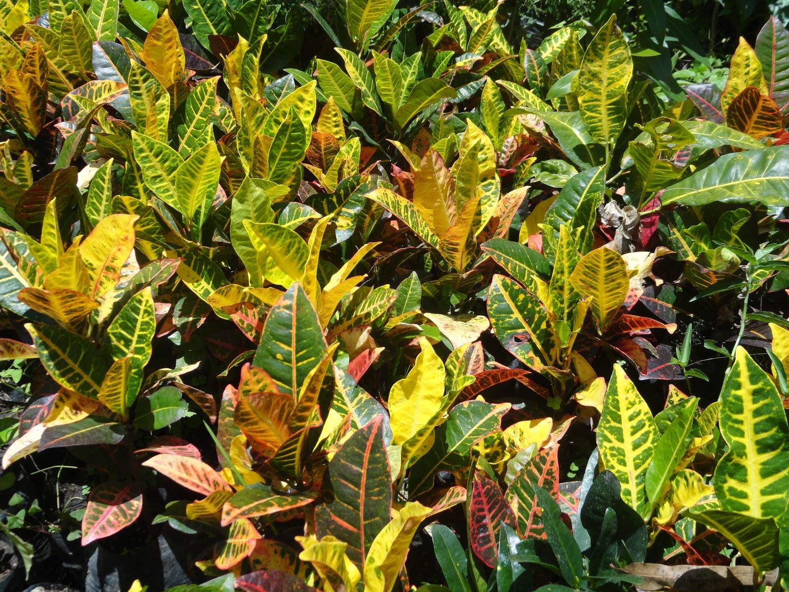 Vivero san andres la responsabilidad social verde for Plantas ornamentales croto