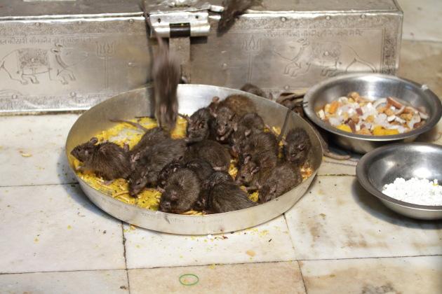 Karni Mata Temple - where rats are worshipped