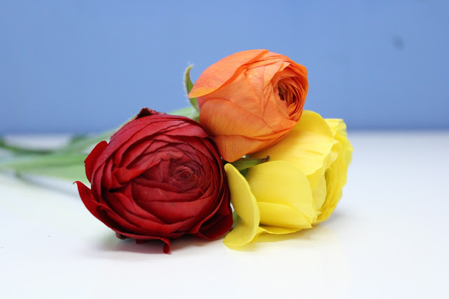 close up colourful ranunculus