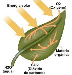 Fotosintesis la luz solar 58