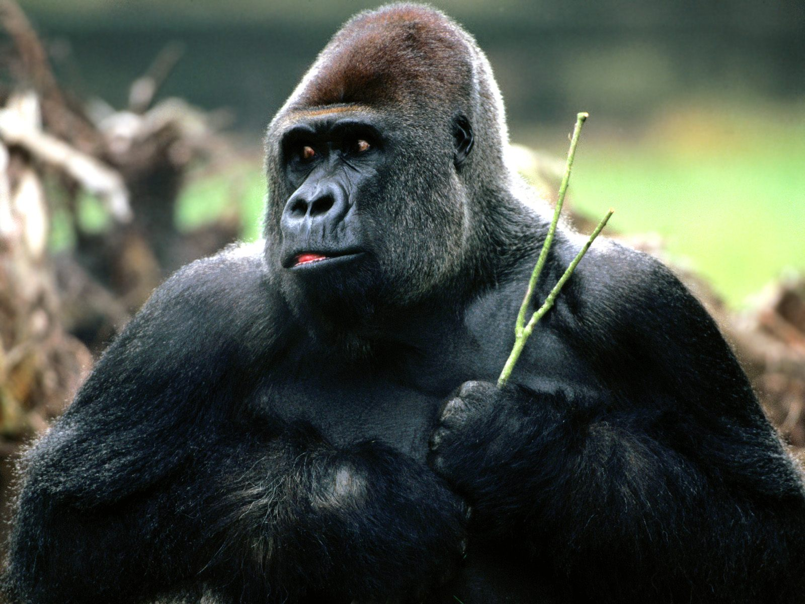 Hd Wallpapers Gorilla Hd Wallpapers