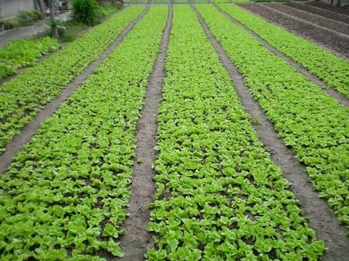 Kỹ thuật trồng rau ăn lá