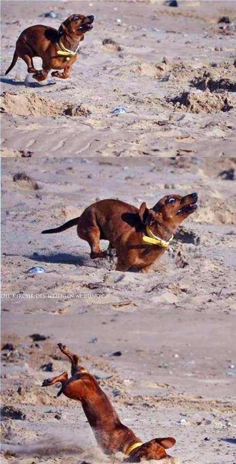 Lustige Dackel Bilder - Hund fällt ungeschickt hin - Spaßbilder