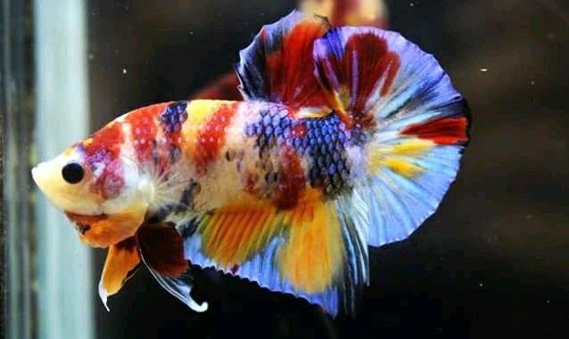 Ikan Cupang Koi Emerald - Ikanhiasku.net