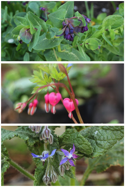 Spring flowers - Honeywort, Bleeding Heart plant, Starflower