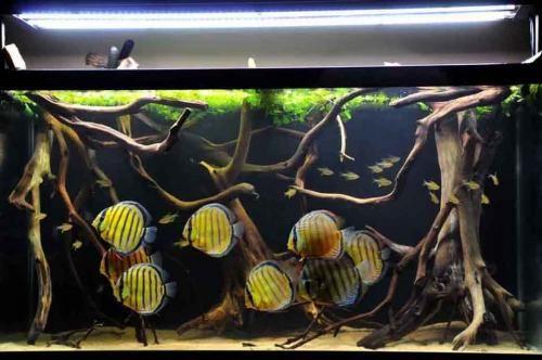 Bể thủy sinh không trồng cây nuôi cá dĩa