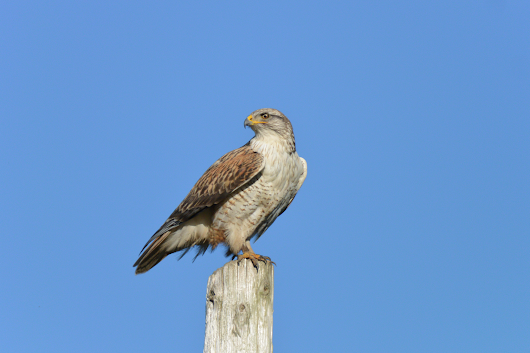 West County Hawkwatch Raptor Research Group